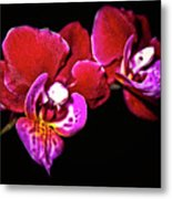 Magenta Phaleonopsis Orchid Metal Print
