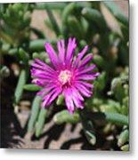Magenta Purple Desert Moss Rose Metal Print