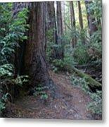 Magical Path Through The Redwoods On Mount Tamalpais Metal Print