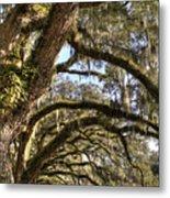 Magnificant Live Oak Trees Color Metal Print
