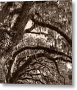 Magnificant Live Oak Trees  Metal Print
