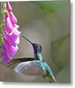 Magnificent Hummingbird A Metal Print