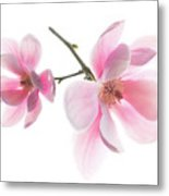 Magnolia Is The Harbinger Of Spring. Metal Print