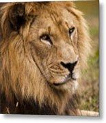 Magnificent Male Lion Metal Print