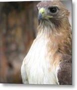 Magnificent Red-tailed Hawk  Metal Print