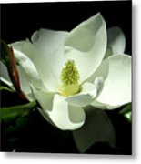 Magnificent White Magnolia - Photography Metal Print