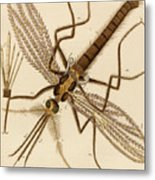 Magnified Mosquito Metal Print