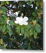 Magnolia Blooming 3 Metal Print