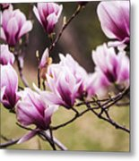 Magnolia Blooming In An Early Spring Metal Print