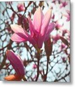 Magnolia Blossoms Metal Print