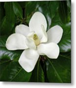 Magnolia Glorious Metal Print