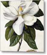 Magnolia Grandiflora Metal Print