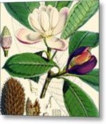 Magnolia Hodgsonii Metal Print