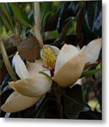 Magnolia Seeds Metal Print