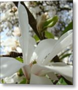 Magnolia Tree Flowers Art Prints White Magnolia Flower Metal Print