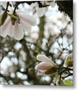 Magnolia Tree Flowers Pink White Magnolia Flowers Spring Artwork Metal Print