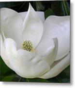 Magnolia Unfolding Metal Print