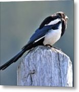 Magpie In The Sun Metal Print