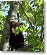 Maine Black Bear Cub In Tree Metal Print
