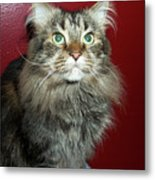 Maine Coon Portrait Metal Print