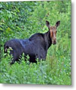 Maine Moose Metal Print