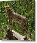 Majestic Cheetah Metal Print