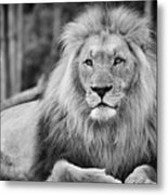 Majestic Male Lion Black And White Photo Metal Print