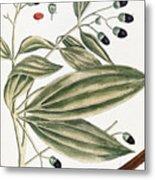Malabar Cinnamon, 1735 Metal Print