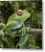Malagasy Web-footed Frog Boophis Luteus Metal Print