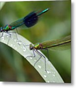 Male And Female Damsel Fly Metal Print