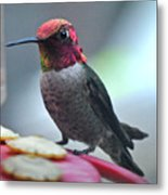Male Anna's Hummingbird On Feeder Perch Metal Print