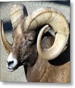 Male Bighorn Sheep Ram Metal Print