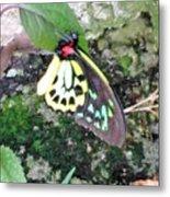 Male Birdwing Butterfly Metal Print