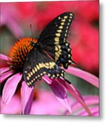 Male Black Swallowtail Butterfly On Echinacea Plant Metal Print