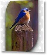 Male Bluebird Metal Print