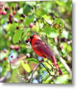 Male Cardinal And His Berry Metal Print by Kerri Farley