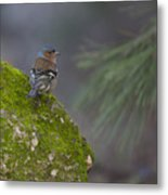 Male Common Chaffinch  Metal Print
