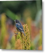 Male Cowbird Feasts On Milo In Shiloh National Military Park, Tennessee Metal Print