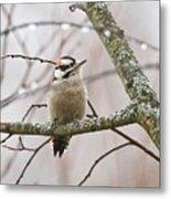 Male Downey Woodpecker Metal Print