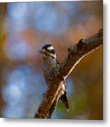 Male Downy Woodpecker Metal Print
