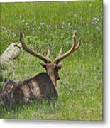 D10270-male Elk  Metal Print