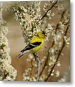 Male Finch In Blossoms Metal Print