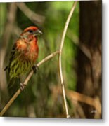 Male Finch In Red Plumage Metal Print