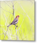 Male Finch On Bare Branch Metal Print