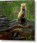 Male Fox-signed   #3569 Metal Print