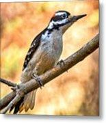Male Hairy Woodpecker Metal Print
