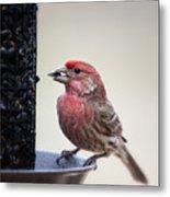 Male House Finch Feeding Metal Print