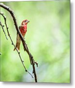 Male House Finch Out On A Limb Metal Print