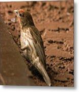 Male House Finch V10 Metal Print