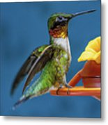 Male Hummingbird Spreading Wings Metal Print